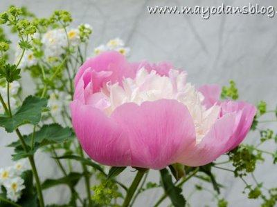 Pfingstrosen für die Vase und im Garten