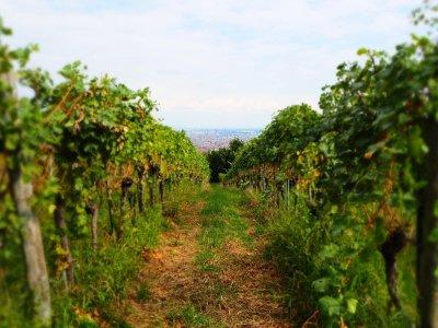 Die schönsten Weinwanderwege in Wien und Umgebung